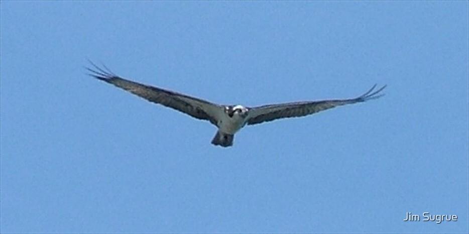 Osprey in Flight by Jim Sugrue