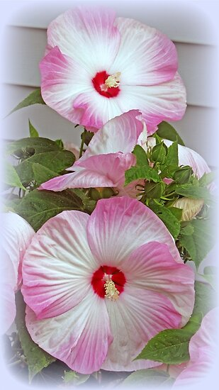 """Pink And White Hibiscus Flowers"" by kkphoto1 