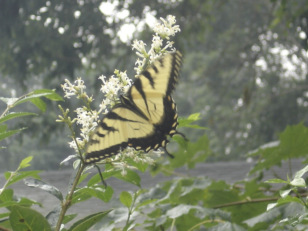 Butterfly by Tamara Weiss