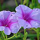 Ipomoea pes-caprae - known as bayhops, beach morning glory or goat's foot by Paul Gilbert
