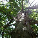 Honey Locust tree by dwilk