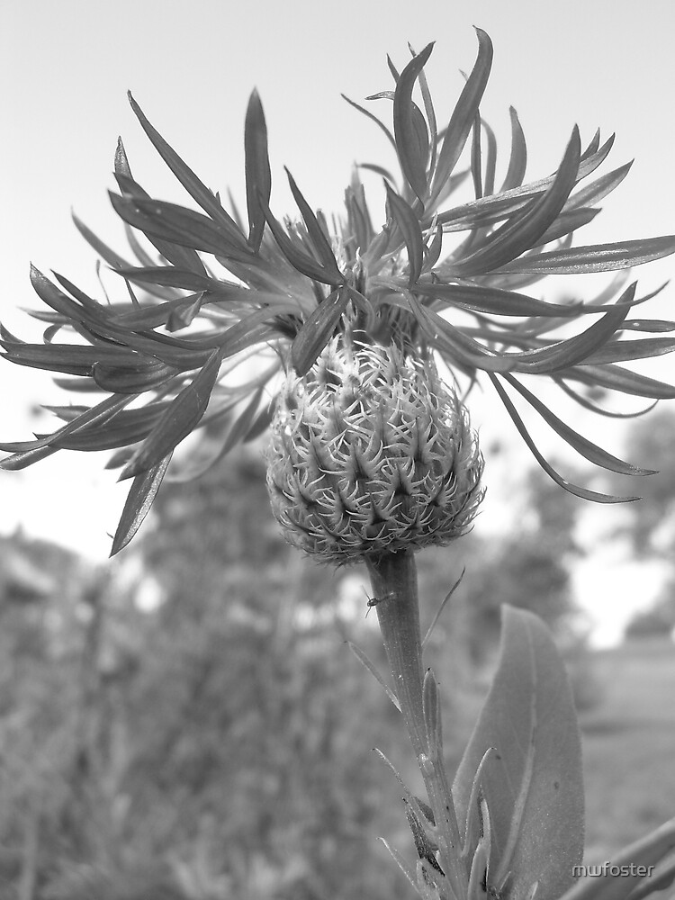 Thistle by mwfoster
