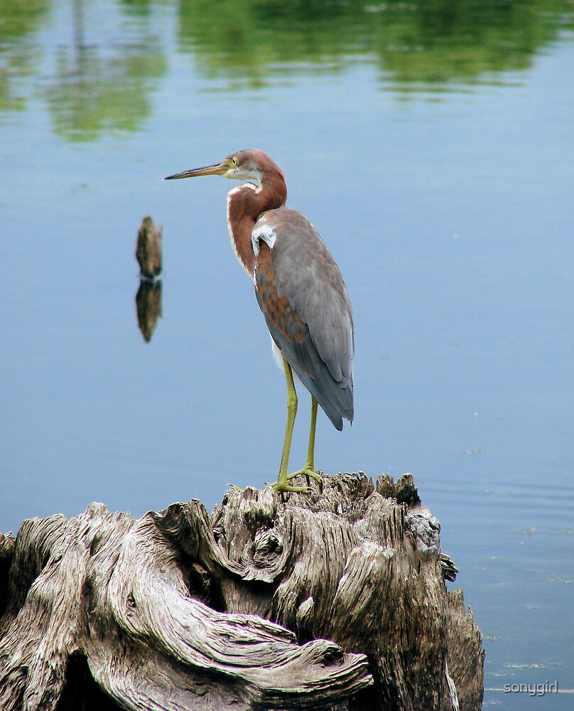 tri colored heron by sonygirl