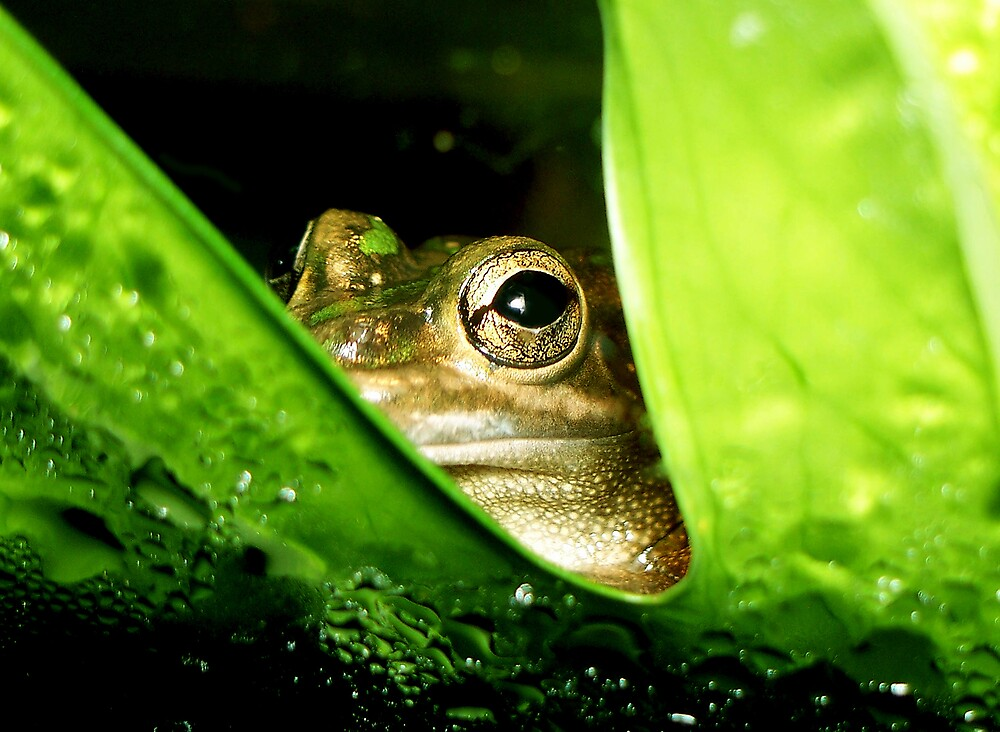 Green and Gold Bell Frog by Gerard Delany