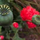 Poppy Seed Pod by Marilyn Harris