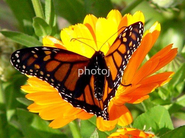 photoj  Monarch Butterfly macro by photoj