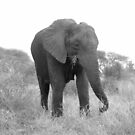 Female Elephant by PaulaP