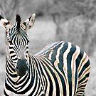 Zebra by PaulaP