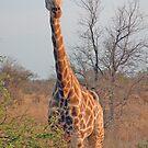 Giraffe by PaulaP
