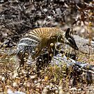 Numbats Of the Dryandra Woodlands by Rick Playle