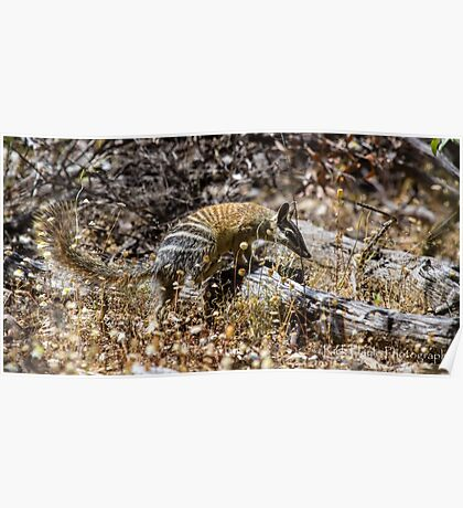 The Australian Numbat number two Poster