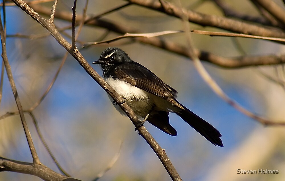Willie-Wagtail by Steven Holmes