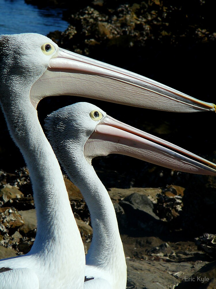 PELICANS by Eric Kyle