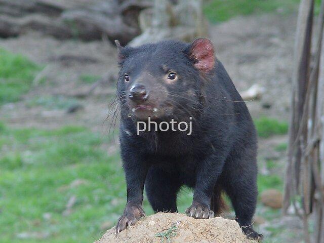 photoj Tasmania Devil by photoj