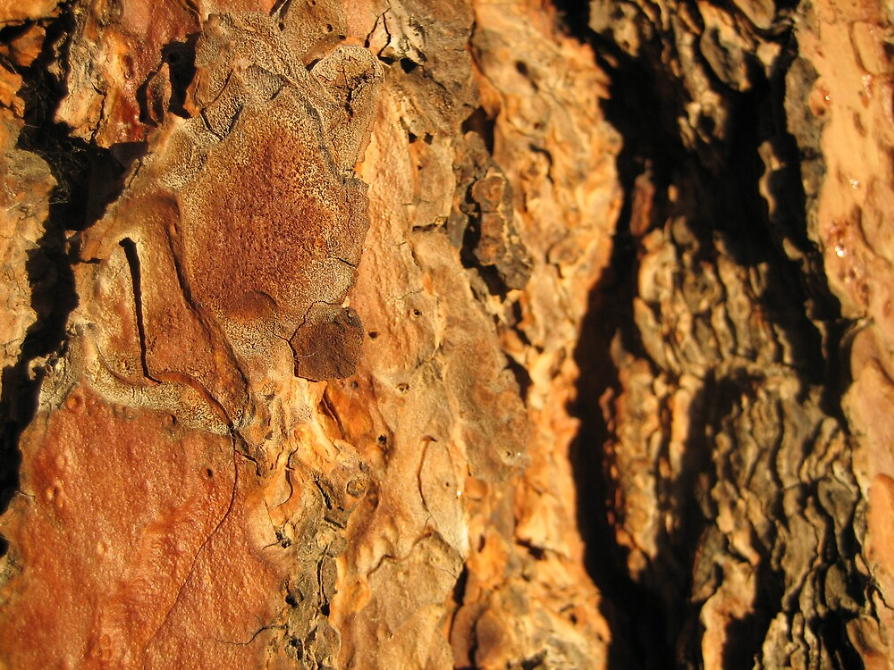 Sunset Bark Pondersoa Pine by Terry Krysak