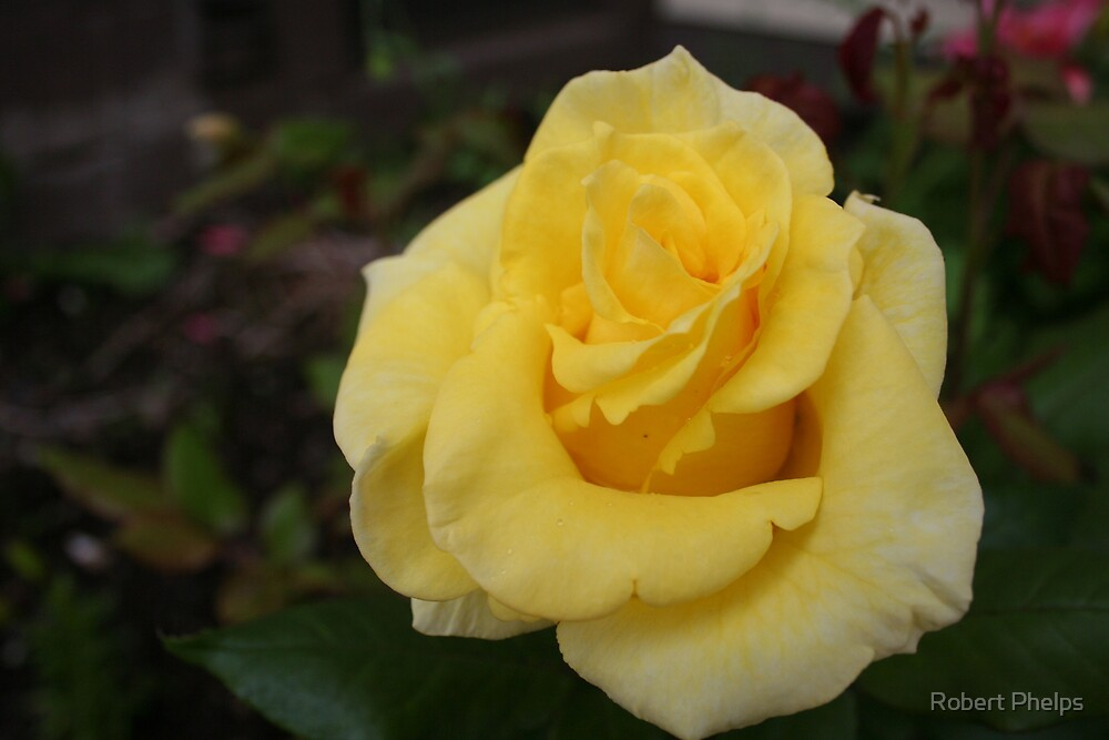 Yellow Rose by Robert Phelps