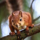 Red squirrel by Julien Tordjman