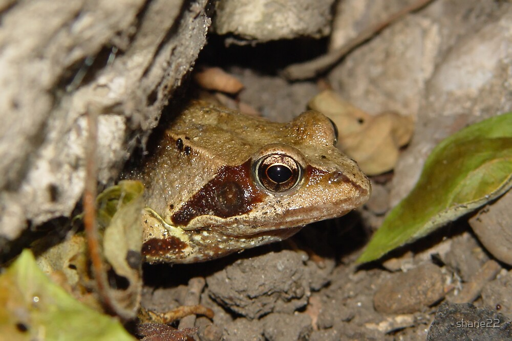 Frog II by shane22