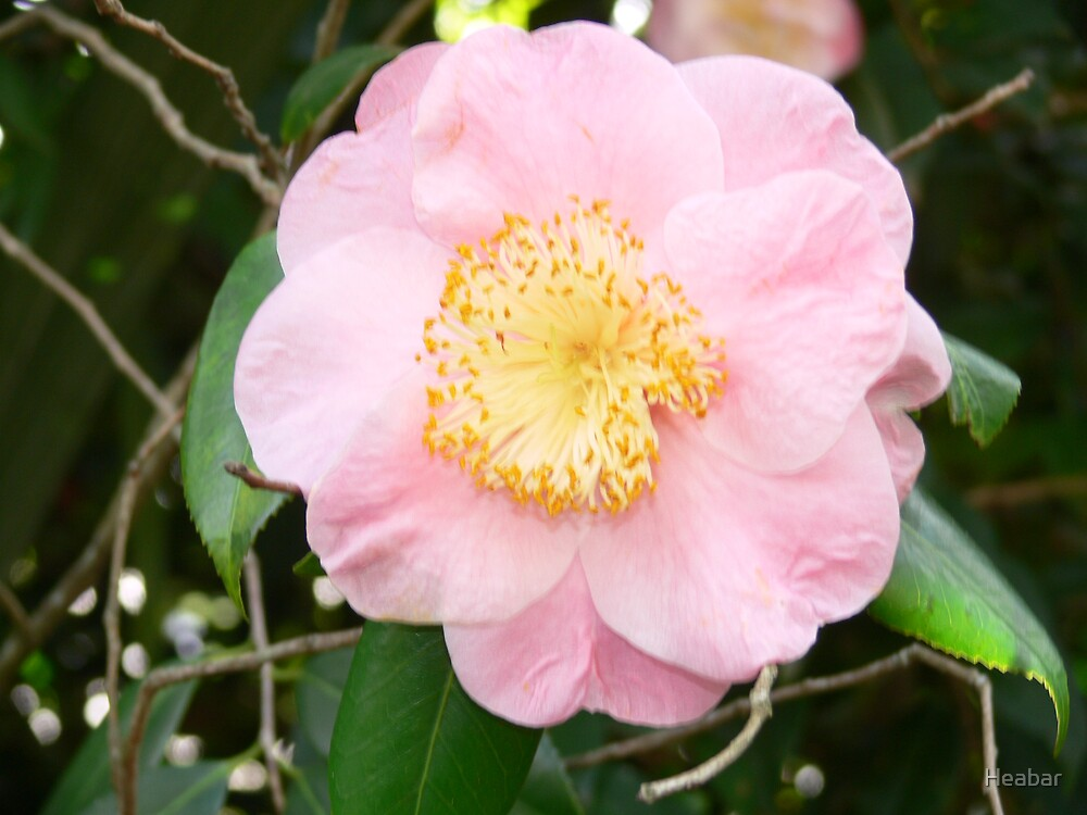 Pink Camellia so delicate !!! by Heabar