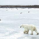 Ice bear by Linda Sparks