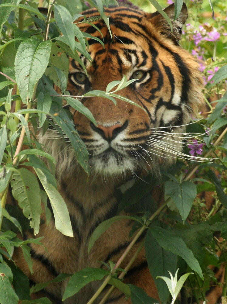 Tiger 2 by dave2002