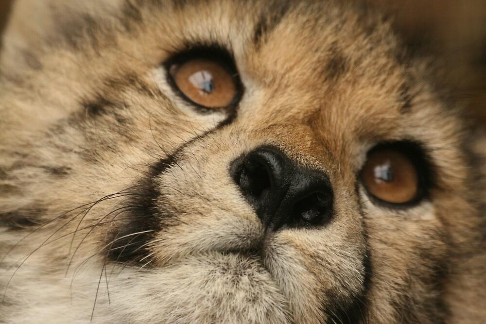 Cheetah Cub by dave2002
