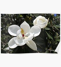 High in a Magnolia Tree ~ Blooms Poster