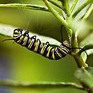 Monarch caterpillar by PhotosByHealy