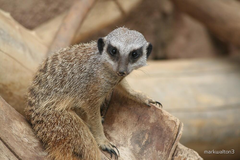 meerkats by markwalton3