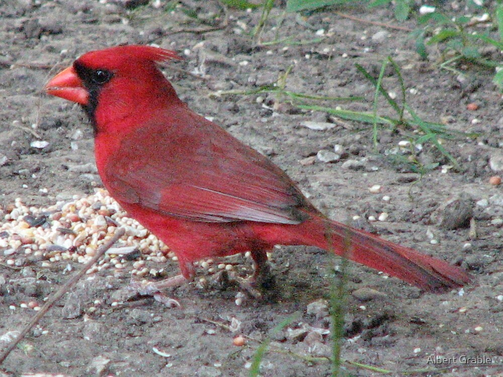 Cardinal's Closeup by Albert Grable