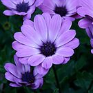 African Daisy by Andy Harris