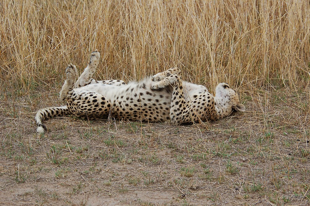 cheetah playing,and rolling over by sijones