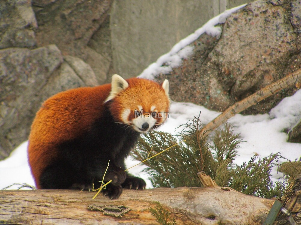 Red Panda by Manon