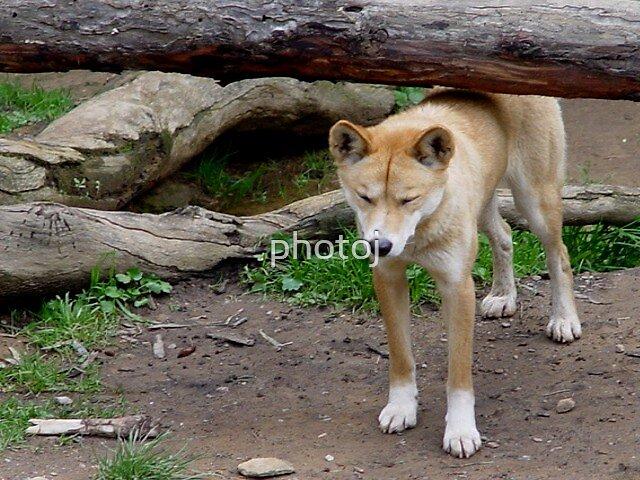 animal-dingo by photoj
