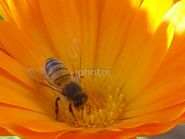 photoj  bee by photoj