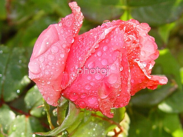 photoj rose bud by photoj