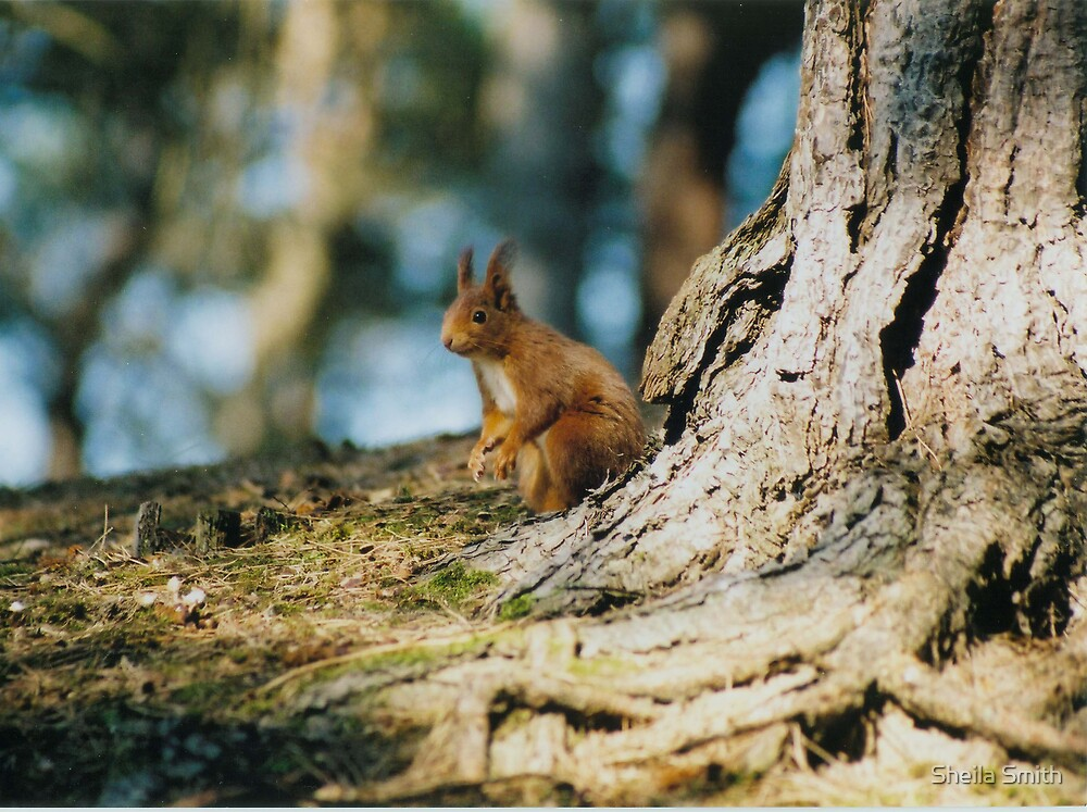 Red Squirrel by Sheila Smith