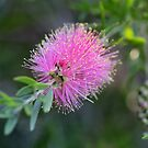 Callistemon 'Glasshouse Country' by Anny Arden