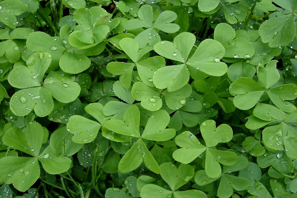 Raindrops on Clover by Thelma1
