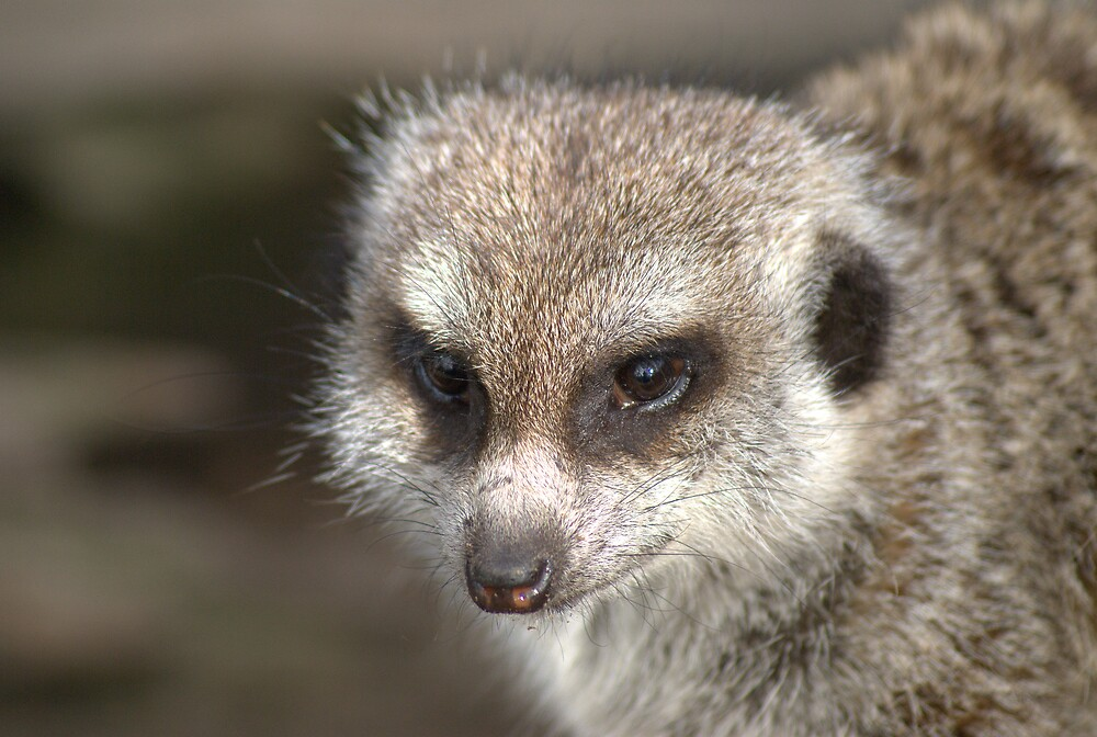 Meerkat at the Zoo by Nigel Roulston