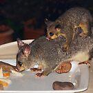 Common Brushtail Possum (Trichosurus vulpecula) by Geoffrey Higges