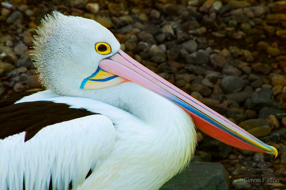 Pelican in Profile by Simon Fallon