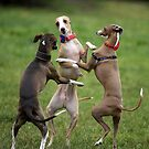 The Italian Greyhound: Big Personality in a Tiny Package. by whippeteer