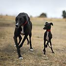 Line Dancing Greyhounds by whippeteer
