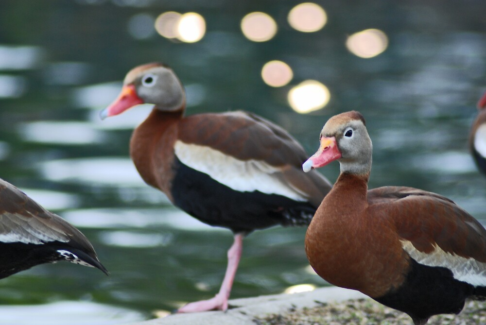 Ducks by photo77