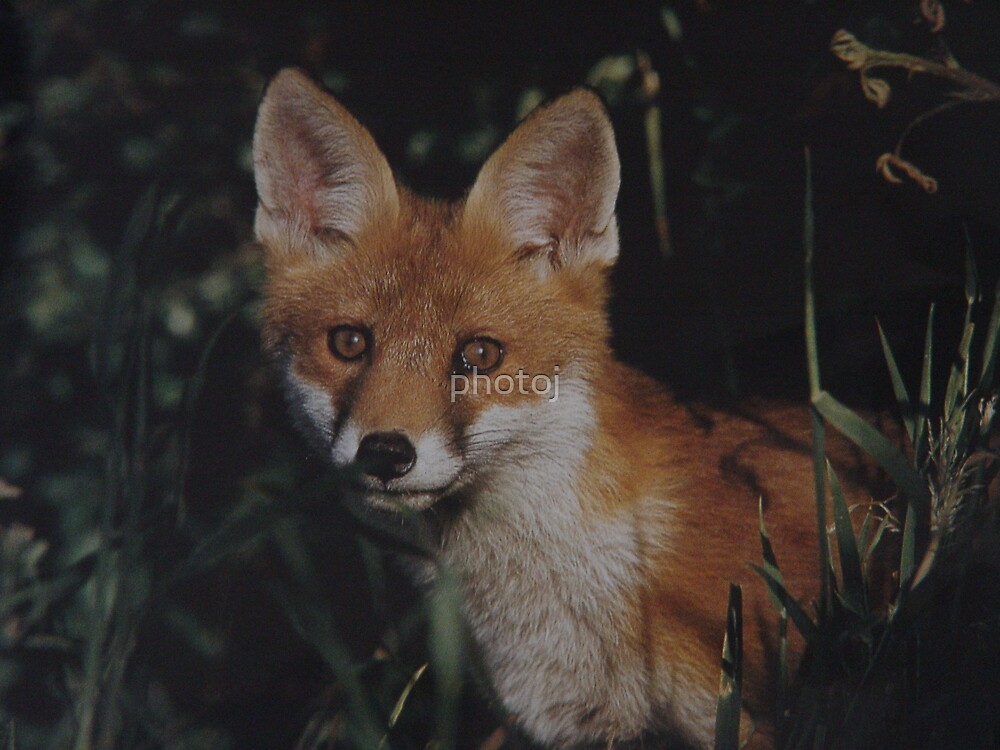animal-fox by photoj