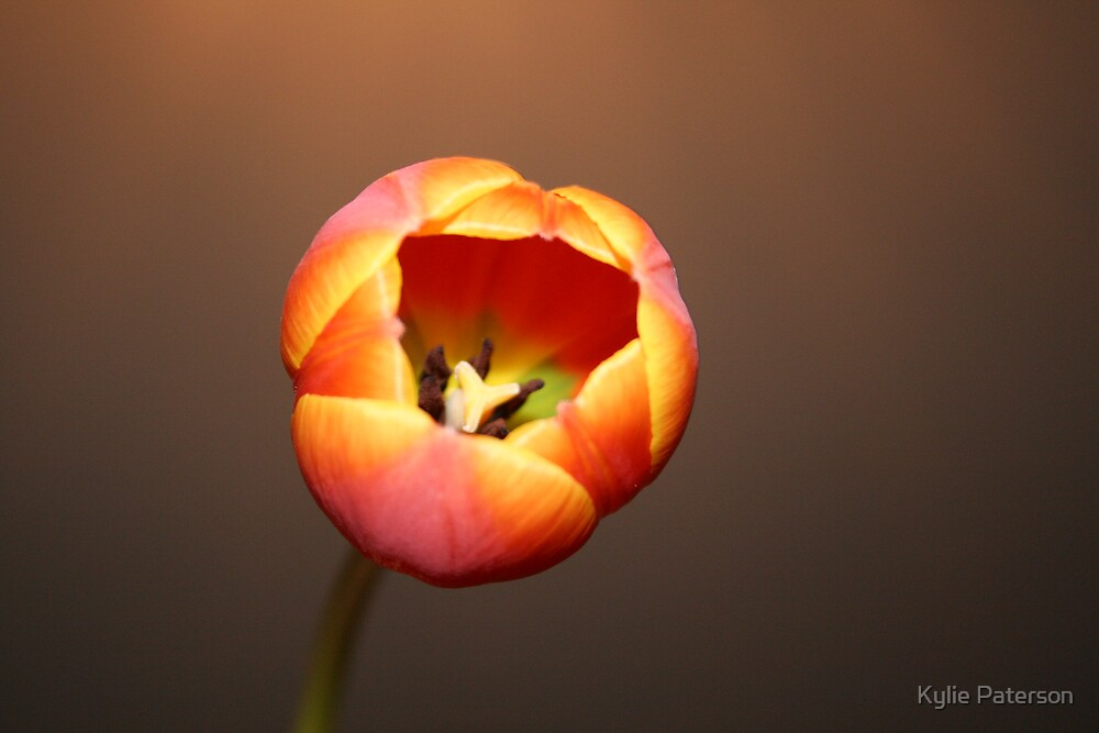 Triangle Tulip by Kylie Paterson