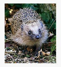Hedgehog, Mammal, Animal, British Wildlife  Photographic Print