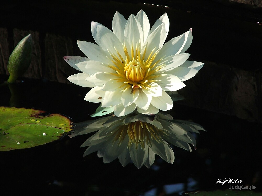 Haven Hospice Water Lily by Judy Gayle Waller