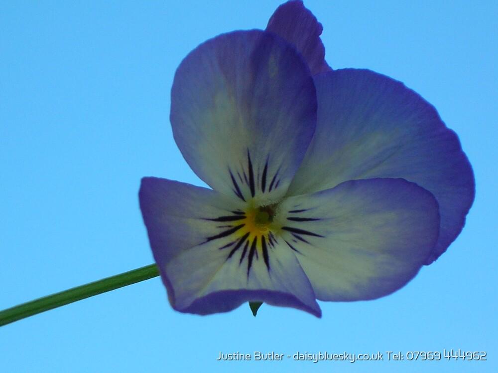 Pansy On Blue Sky by Justine Butler - daisybluesky.co.uk Tel: 07969 444962